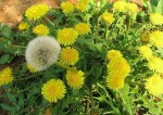 Dandelions.yellow