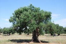 800px-centenarian_olive_tree_1_28475218368229